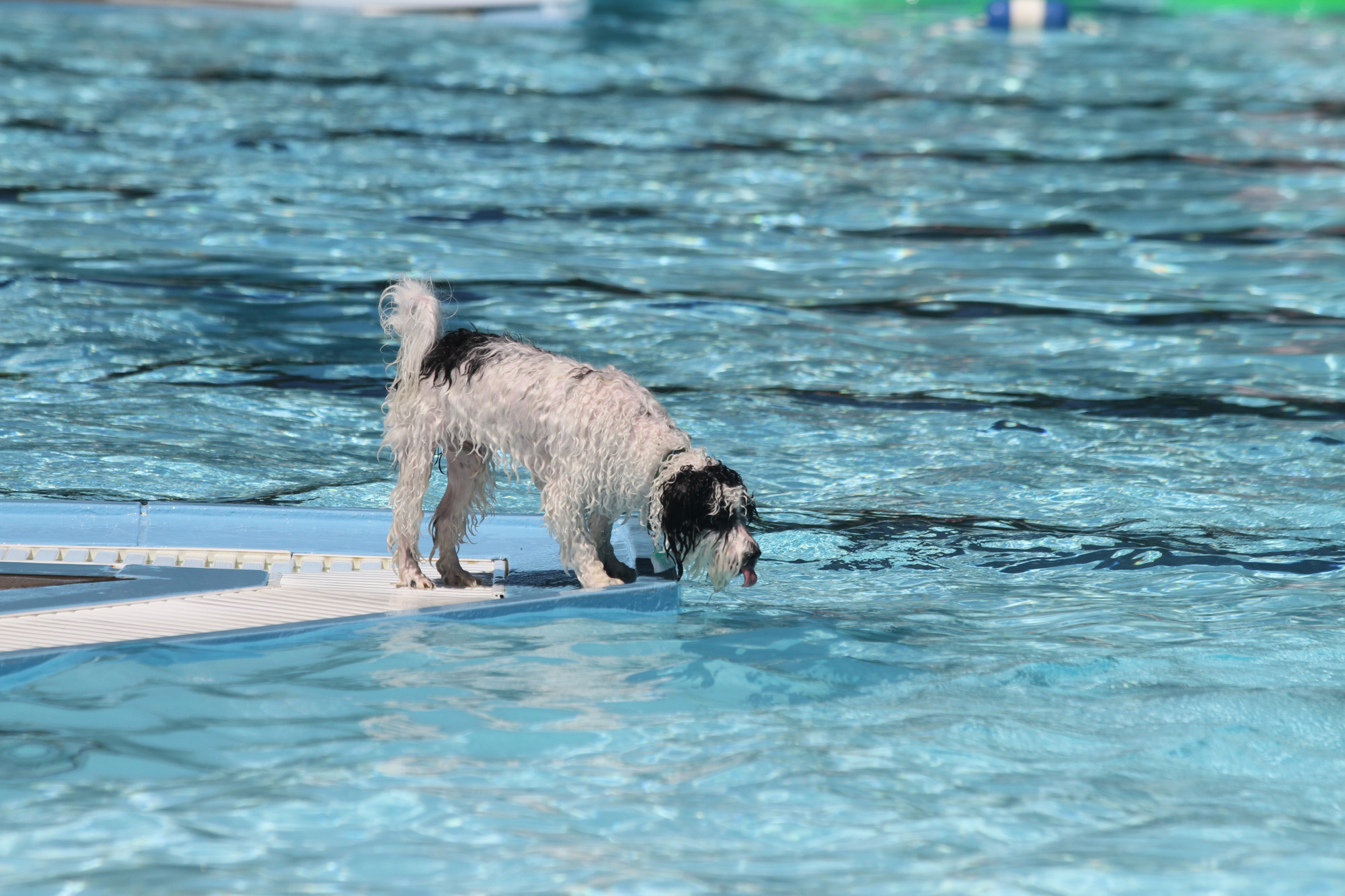 Is Pool Water Bad for Dogs? What to Know Before Letting Your Pup Swim with You